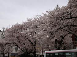 Kunitachi_sakura